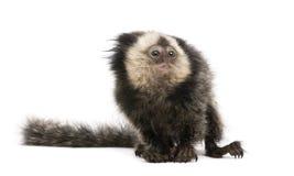朝向的背景小猿白色 免版税库存图片