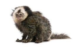 朝向的背景小猿白色 免版税图库摄影