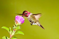 朝向的蜂鸟红色 免版税库存照片