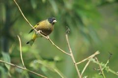 朝向的黑色greenfinch 免版税图库摄影
