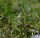 朝向,授粉一朵小白色和黄色花的蜂的宏观照片 免版税图库摄影
