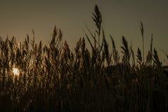 朝阳由后照的芦苇属 免版税图库摄影