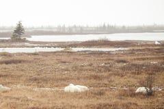 朦胧的寒带草原:湖、常青树和困极性Bea 库存图片
