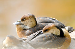 朦胧的睡觉鸭子 库存图片
