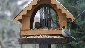 木五子雀五子雀类europaea,伟大的山雀帕鲁斯主要和木五子雀五子雀类europaea在鸟饲养者在冬天 影视素材