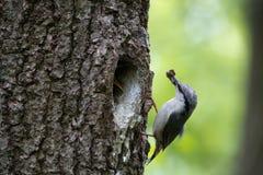 木五子雀带来了小鸡的食物在额嘴 伯德家族照顾刚孵出的雏并且保护他们的在橡木的凹陷的巢 图库摄影