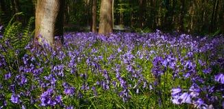 木会开蓝色钟形花的草全景的结构树 库存图片