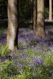 木会开蓝色钟形花的草的结构树 免版税库存图片