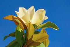 木兰一朵花反对蓝天的 免版税库存照片