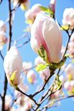 木兰反对蓝天的树开花 库存图片