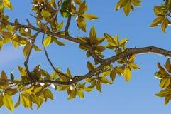 木兰叶子在夏天 免版税库存图片