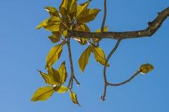 木兰叶子在夏天 库存照片