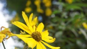 木兰庭院向日葵 库存照片