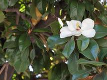木兰开花。 免版税库存图片