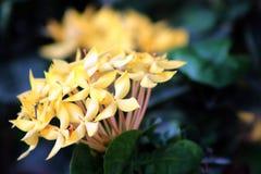 木兰开花与一只蚊子的明亮的黄色 免版税库存图片
