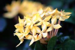 木兰开花与一只蚊子的明亮的黄色 免版税库存照片