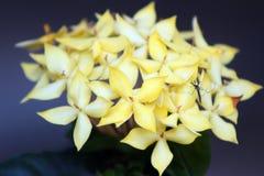 木兰开花与一只蚊子的明亮的黄色 免版税图库摄影