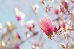 木兰开花开花 库存图片