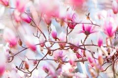 木兰开花开花 库存照片