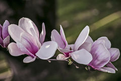 木兰开花白色和桃红色 免版税库存图片