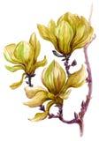 木兰明亮地被绘的分支在白色背景开花 库存照片