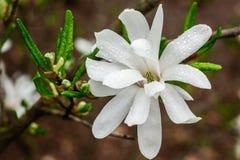 木兰树乳脂状的开花  在雨以后的美丽的乳脂状的木兰花 免版税库存照片