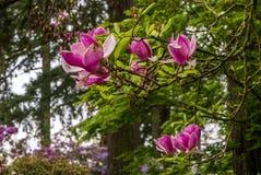 木兰树在波特兰` s克里斯特尔里弗杜鹃花庭院里 免版税图库摄影