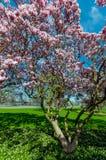 木兰树在5月,尼亚加拉瀑布 图库摄影