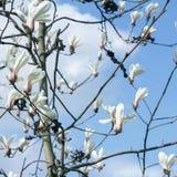 木兰树开花的特写镜头 免版税库存图片