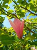 木兰树的嫩玫瑰色花 免版税库存图片