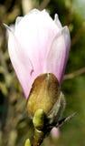 木兰树花在春天。 库存图片