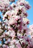 木兰树 免版税库存图片