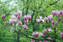木兰粉红色 库存图片