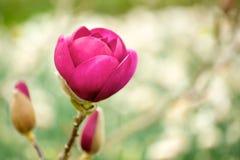 木兰红色春天 库存照片