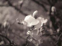 木兰花。 库存图片