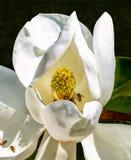 木兰花和蜂 免版税库存照片