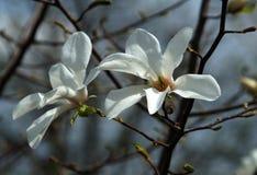 木兰花在植物园里 免版税图库摄影