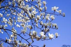 木兰花白色 图库摄影