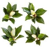 木兰被隔绝的花蕾的汇集 库存照片