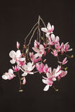 木兰,在黑色的春天桃红色花分支 免版税库存照片
