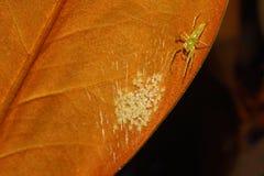木兰绿色跳跃的蜘蛛和巢 图库摄影