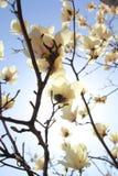 木兰 免版税图库摄影