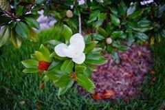 木兰denudata树和花 免版税库存照片