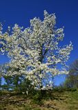 木兰obovata树在Gryshko全国植物园里在Kyiv,乌克兰 库存图片