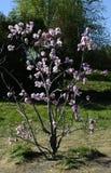 木兰soulangeana树在Gryshko全国植物园里在Kyiv,乌克兰 免版税库存图片