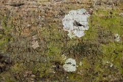 木吠声树干有绿色生苔地衣背景 免版税库存图片