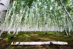 木头在桦树森林里 免版税库存图片