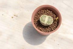 木委员会的Lithops植物 库存图片