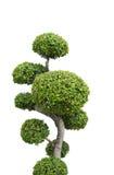木家庭装饰:在与clippin的白色背景隔绝的树 免版税库存照片