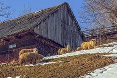 木小屋和吃草绵羊 免版税库存照片